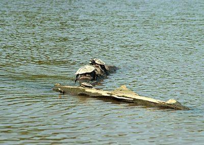 Environmental Ground_Allegan LakeTurtles4479