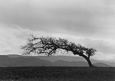 FineArt_SolvangPastureOak_s